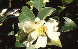 Камелия масличная