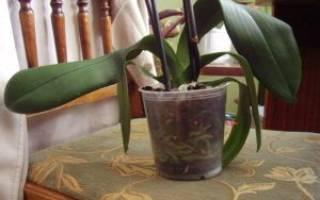 Почему желтеют и вянут листья у орхидеи