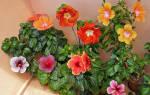 Гибискус цветок уход в домашних условиях