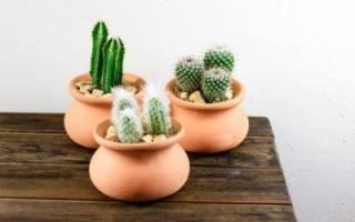 Что делать чтобы кактус зацвел