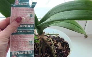 Как развести янтарную кислоту для орхидеи