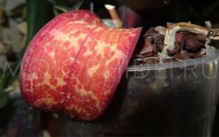 Почему у орхидеи краснеют листья