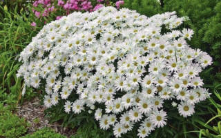 Цветы нивяник