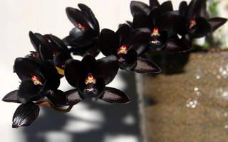 Орхидея черный принц