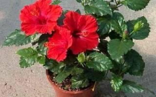 Как посадить китайскую розу