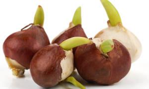 Как правильно сажать луковицы тюльпанов