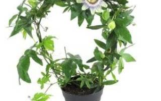 Цветок пассифлора в домашних условиях