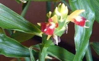 Цветение имбиря