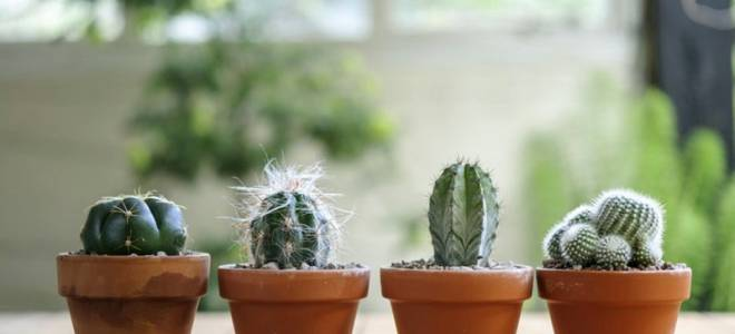 Пересадка кактусов в домашних условиях