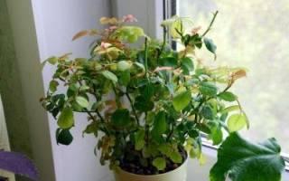 Роза сохнет и сбрасывает листья