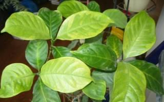 Гардения желтеют листья