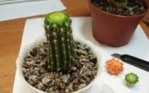 Как обрезать кактус и посадить