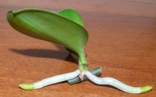 Как отделить детку у орхидеи