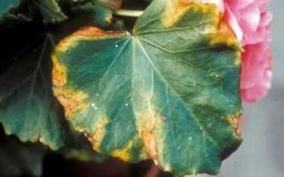 Почему у бегонии краснеют листья