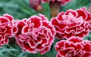 Цветок гвоздика садовая