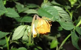 Почему сохнут бутоны у розы садовой