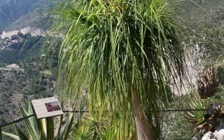 Бутылочное дерево комнатное растение