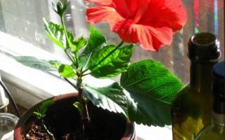 Как заставить цвести китайскую розу