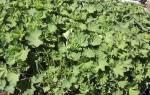 Манжетка обыкновенная трава