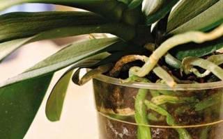Воздушные корни орхидеи что с ними делать