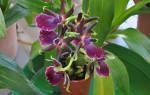 Зигопеталум орхидея