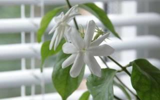 Почему не цветет жасмин комнатный
