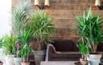 Как пересадить пальму в домашних условиях