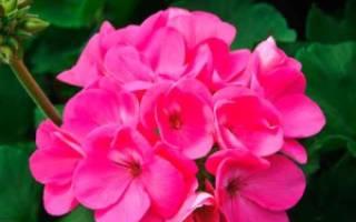 Пеларгония розовая