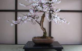 Сакура бонсай