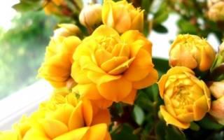Каланхоэ цветение в домашних условиях