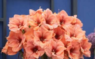 Гиппеаструм после цветения