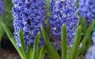 Гиацинты: посадка и уход в открытом грунте, выращивание в саду, виды | 200x320