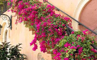 Почему не цветет бугенвиллия в домашних условиях