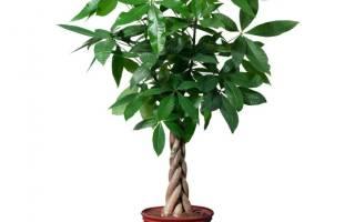 Растение пахира