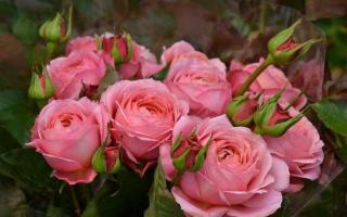 Значение роз разных оттенков