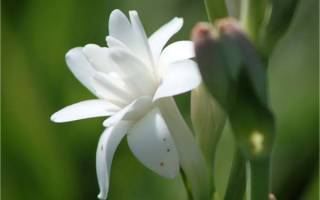 Тубероза цветок выращивание