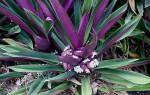 Рео растение