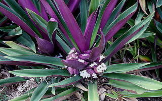 Цветы с фиолетовыми листьями