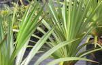 Комнатное растение с длинными листьями