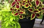 Комнатное растение крапивка