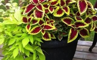 Домашний цветок колеус