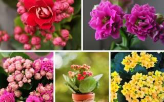 Цветущие домашние цветы