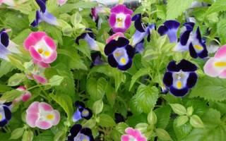 Цветы торения