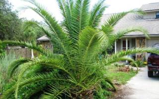 Разновидности пальм