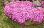 Цветы кустовые