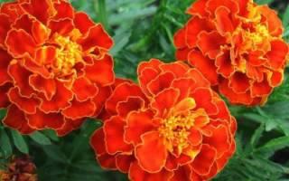 Бархотка цветок