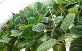 Как вырастить глоксинию из листочка
