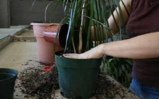 Как правильно посадить драцену в горшок