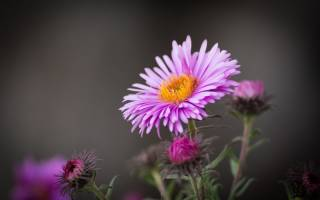 Цветок октябрина