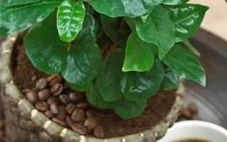 Домашнее растение кофе